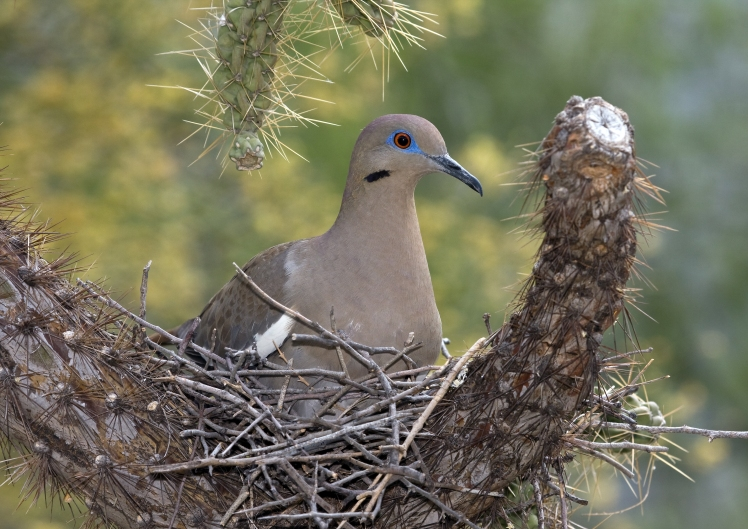 White-winged dove Rhonda Spencer.jpg