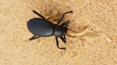 Pincate Beetle. Photo: ASDM/Amy Orchard