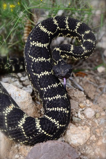 Arizona black rattlesnake (Crotalus Cerberus). Photo: Zack West