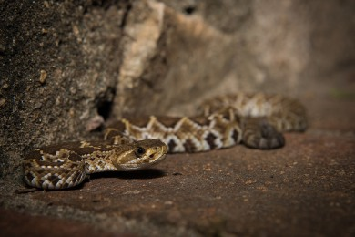 West Coast Rattlesnake (Crotalus basiliscus). Photo: Zack West