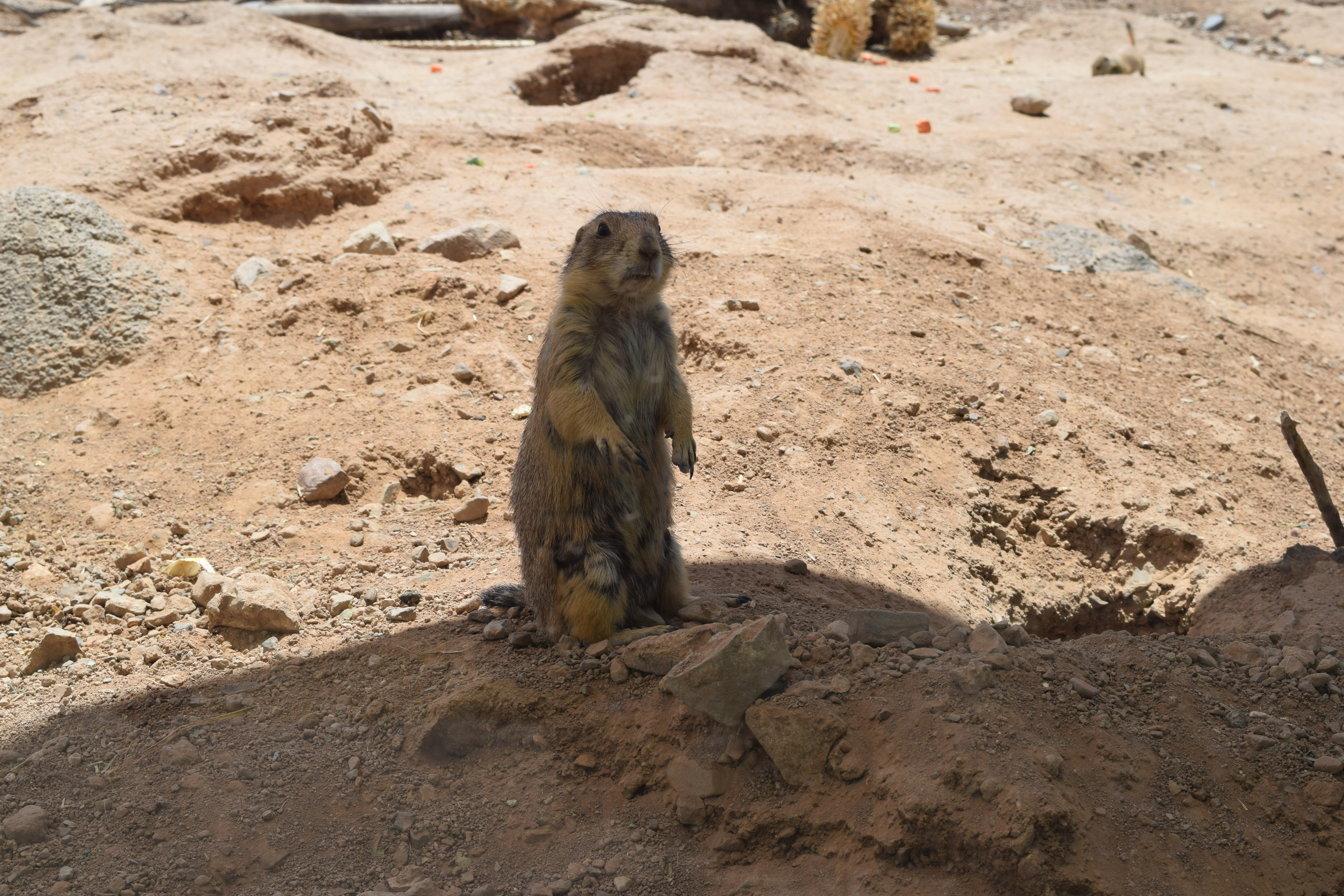 adopt me keeping up with the prairie dogs u2013 desert diaries