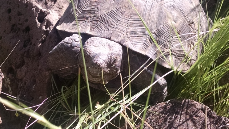 Desert tortoise in its native habitat. Photo: ASDM/Julia Rowe