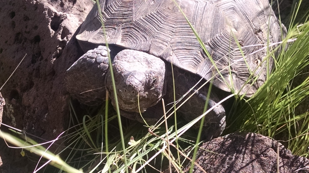Desert tortoise in its native habitat. Photo: ASDM/Julia Rowe
