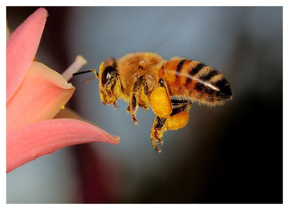 honey_bee_flying