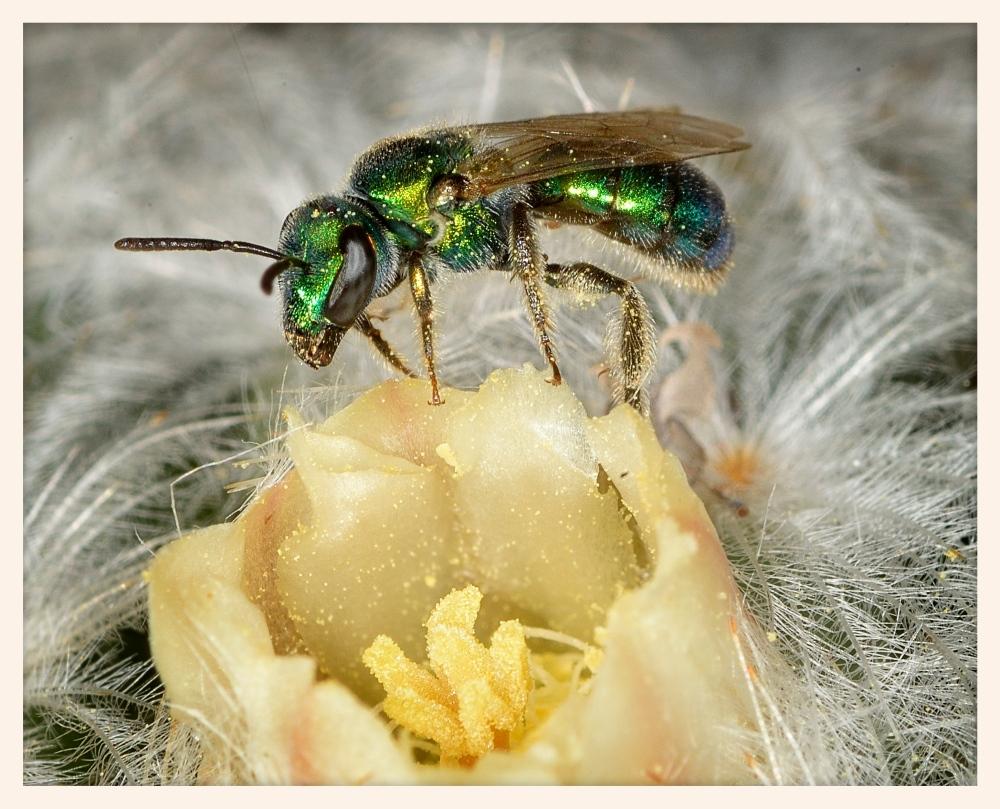 mammillaria-cactus-and-sweat-bee_31521393986_o.jpg