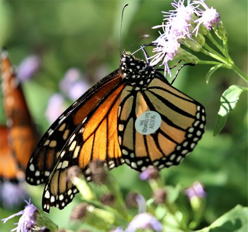 Robert_Leaver_Tagged_Butterfly.jpg