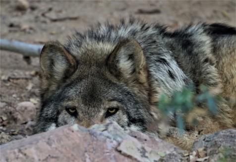 MEXICAN GRAY WOLF_Robert_Leaver.jpg