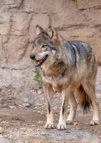 Wolf(2)_Jay_Pierstorff.jpg