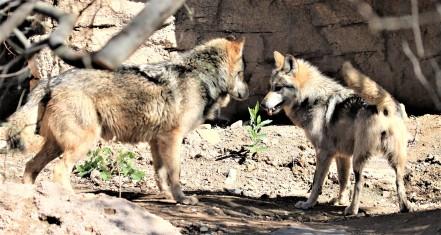 Wolves_Playing_Robert_Leaver.jpg