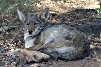 Coyote_Robert_Leaver