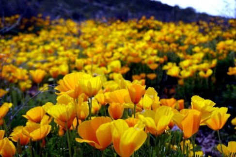 Mike_Sechrest_Poppies (3)