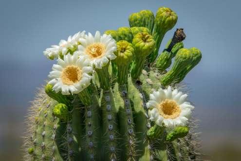 Saguaro_Flowers_Jay_Pierstorff
