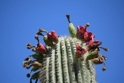 Saguaro_Fruit_Lauren_Belcher (2)