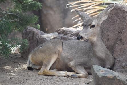 Deer_Lauren_Belcher (2)
