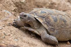 Desert_Tortoise_Rhonda_Spencer