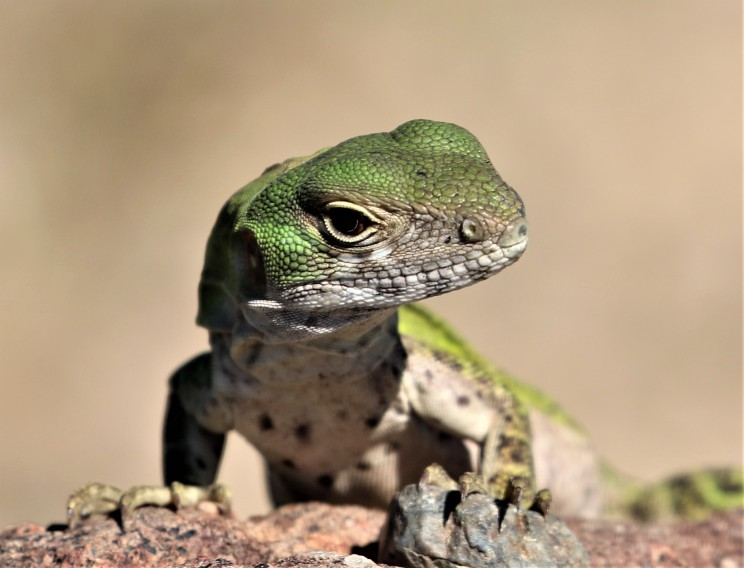 Spiny_Tailed_Iguana_Robert_Leaver (3)