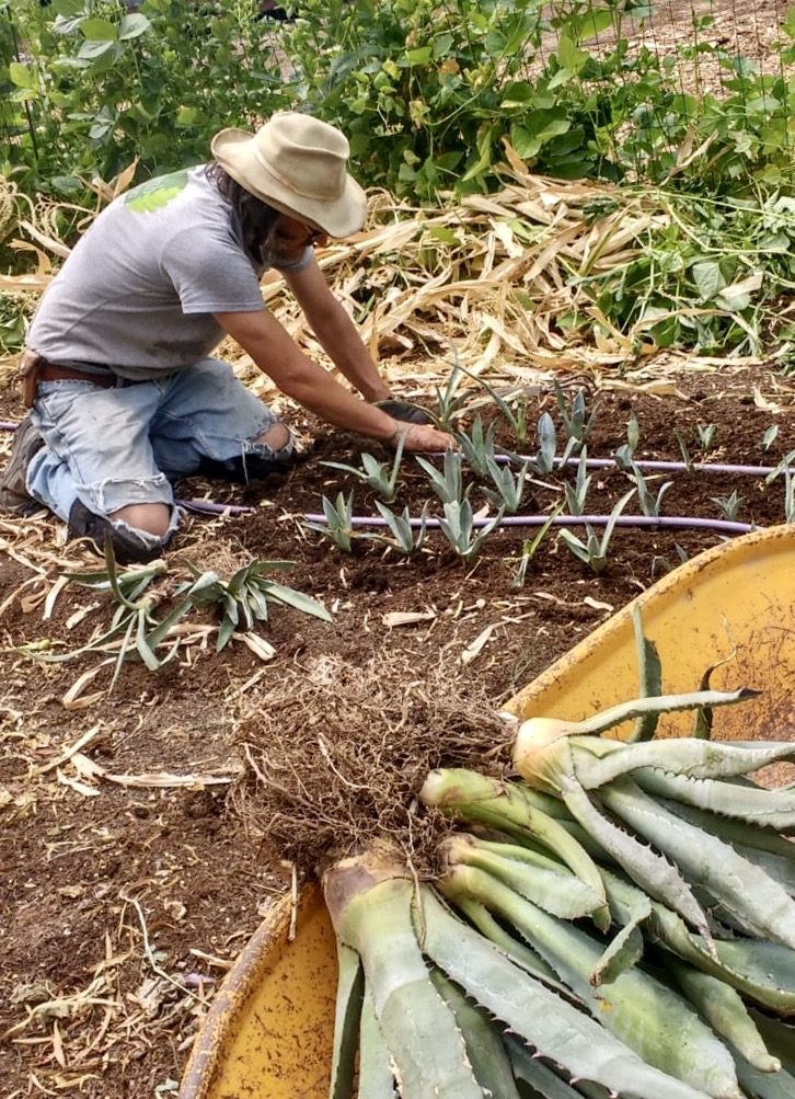 A man in a t-shirt, blue jeans, and a hat plants rows of agave at the Mission Garden.