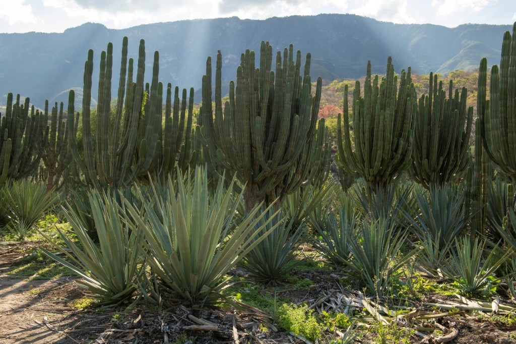 This photo shows intercropping of agave and columnar cacti near Las Canoas in Jalisco, Mexico.